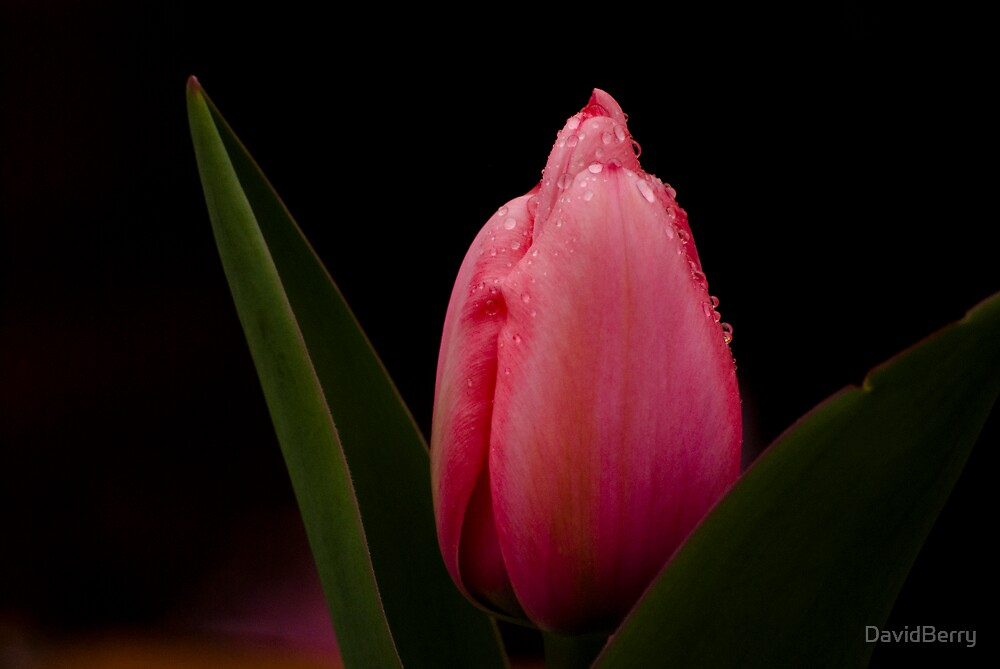 Pink Tulip by DavidBerry