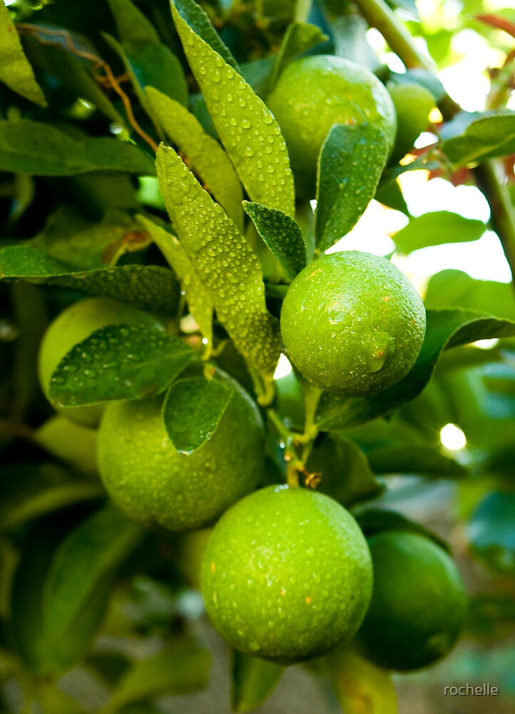 Limes after the rain by rochelle