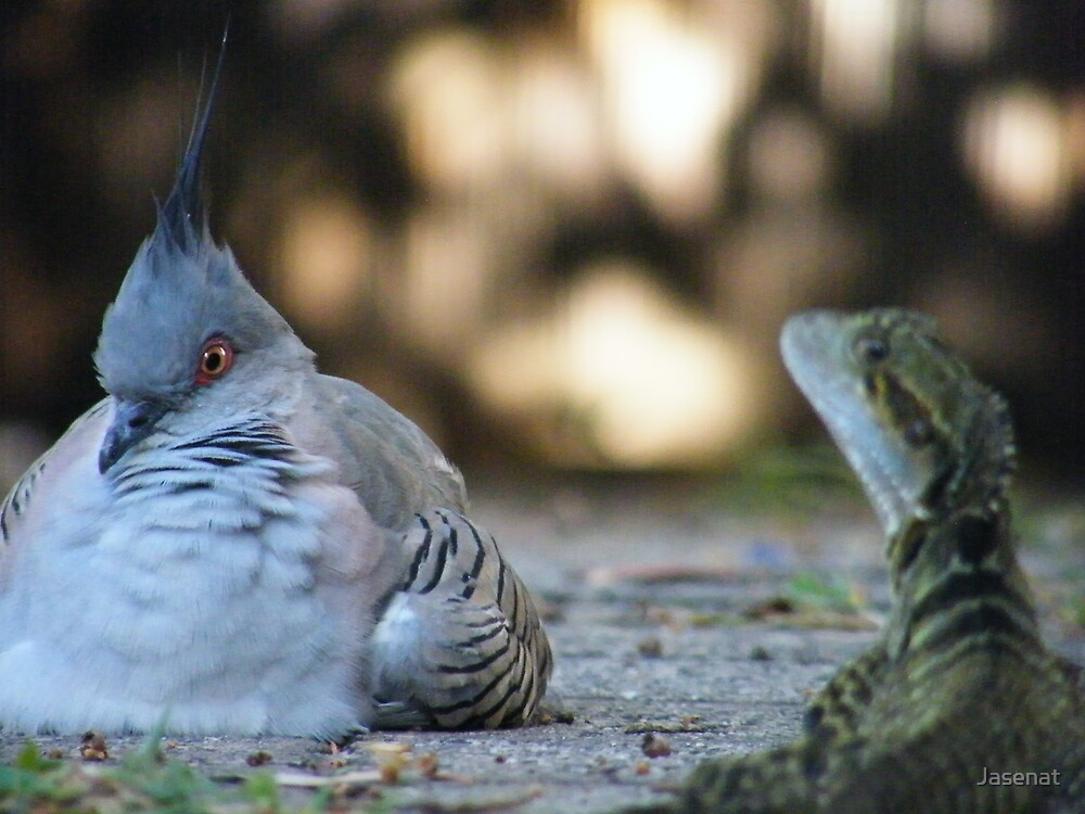 Crested pigeon by Jasenat