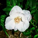 Another wild rose by Shulie1