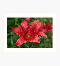 Lilium lancifolium Art Print