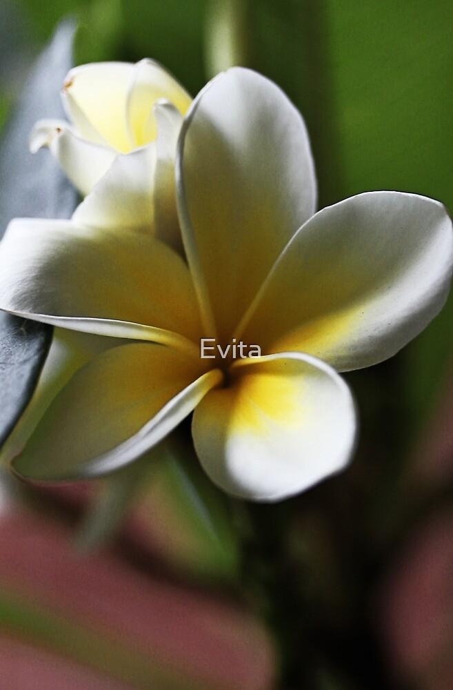 Frangipani #4 by Evita