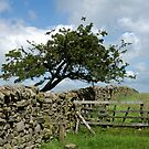 Hawthorn & Drystone by mikebov