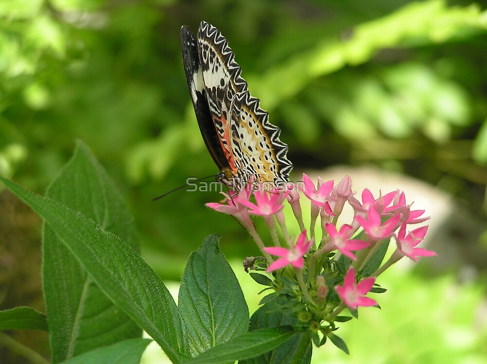Butterfly by Sam Thomson