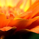 Daisy Petals by aljen01