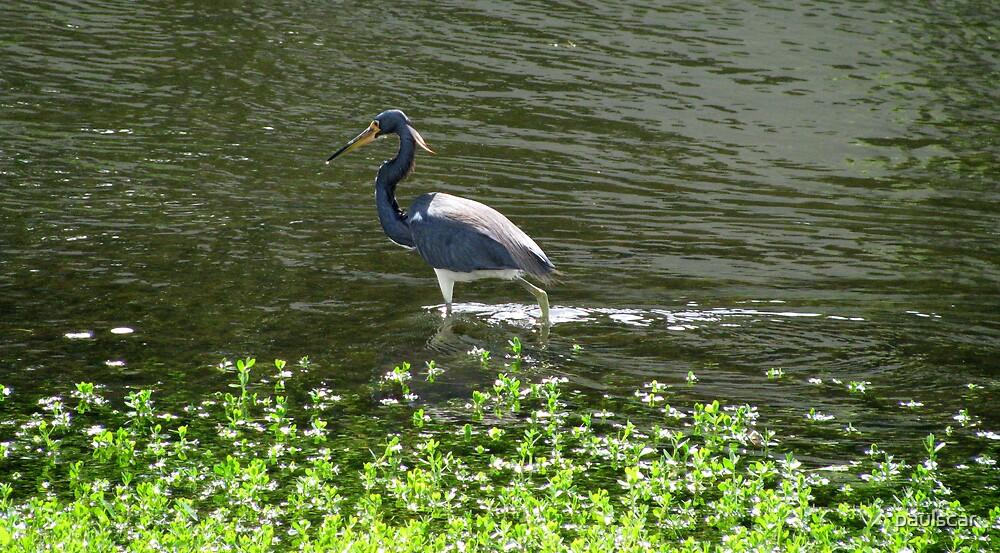 heron in blue by paulscar