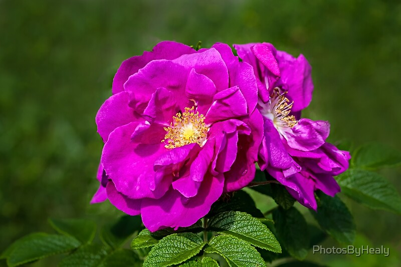 Rugosa roses by Photos by Healy