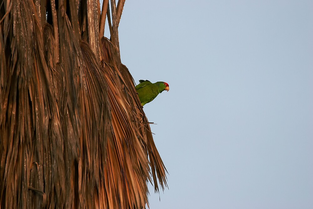 Local Parrot by justincase724