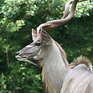 Long Horns by sarah ward