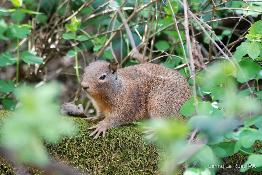 Ground Squirrel, Penn Valley, CA by Lenny La Rue, IPA