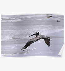 Brown Pelican flying over surf on beach Poster