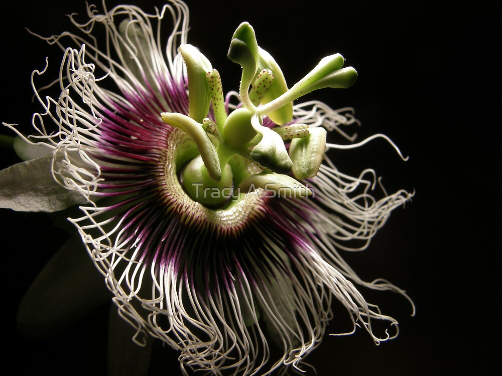 passion flower by Tracy A Smith