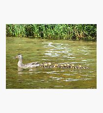 A Dozen Ducklings Photographic Print