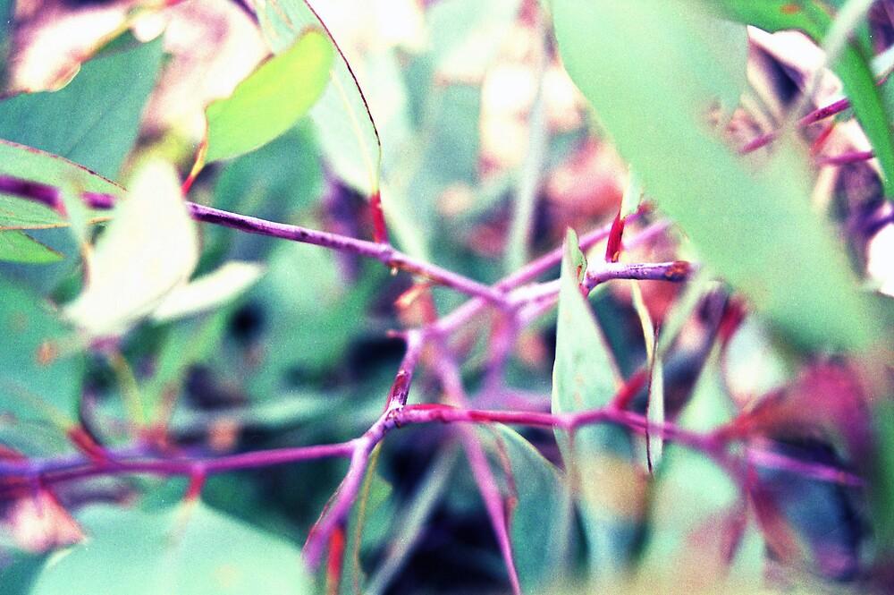 Purple Eucalypt Sapling by EucalyptPhoto