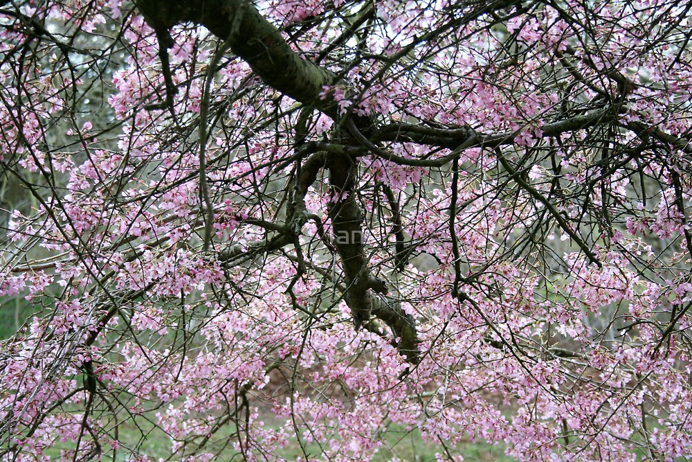 underneath the blossom by Iani