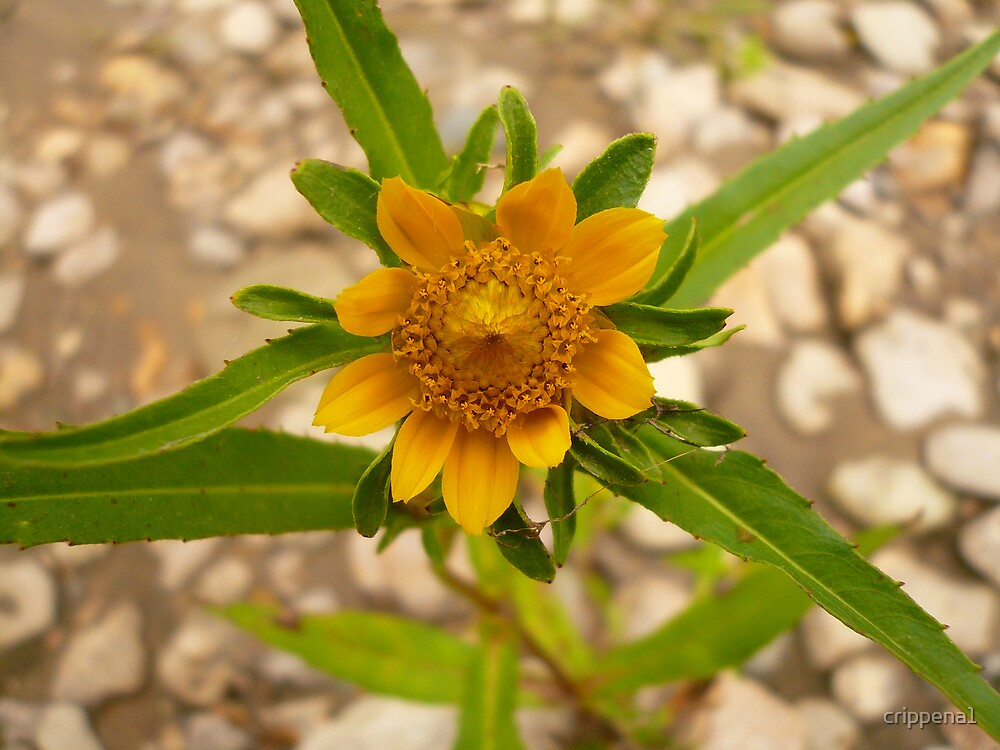 Wild-Flower by crippena1