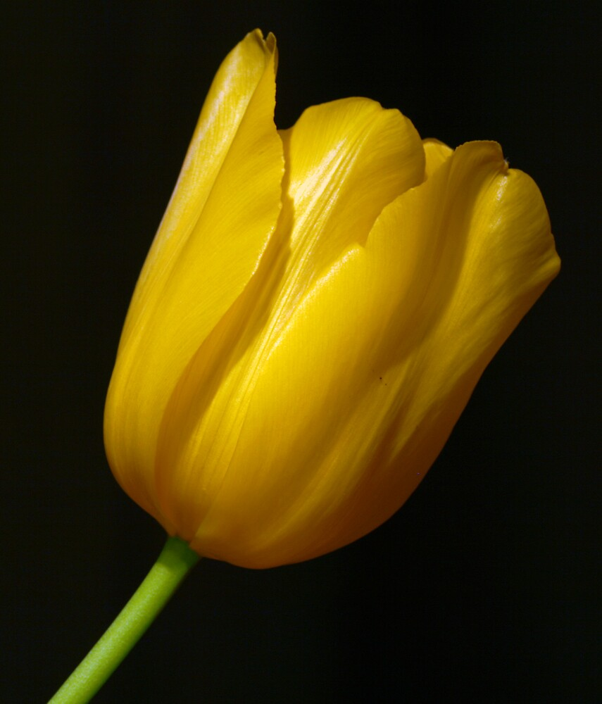 Yellow Tulip with Green Stem by Swede