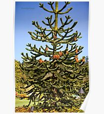Wollemi Pine - Ancient Tree Poster