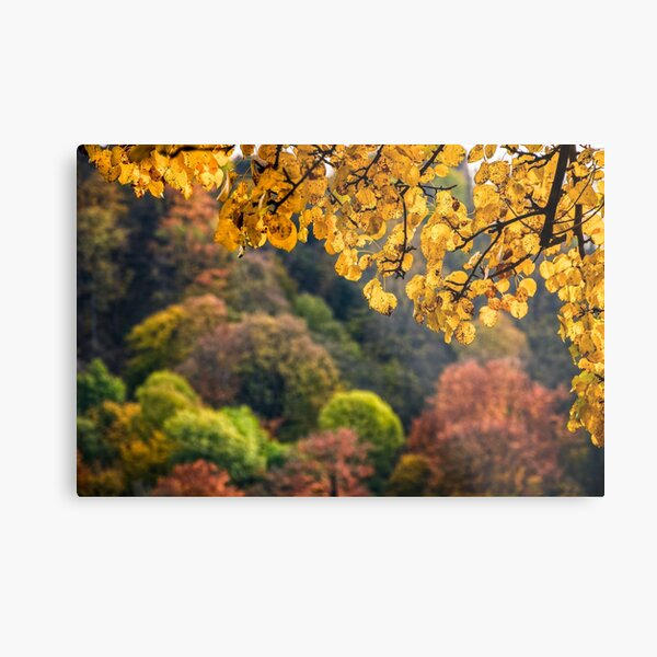 forest with colorful foliage on sunny autumn day Metal Print