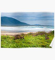 Group of kangaroos grazing  Poster