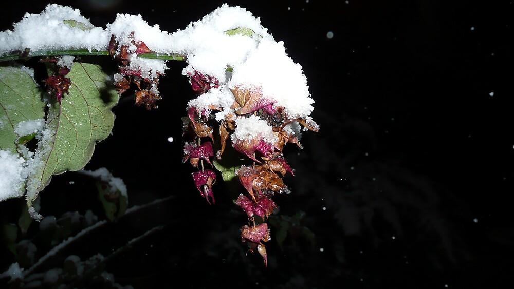 Pheasant Bush flower in snow. by RichieQuinn