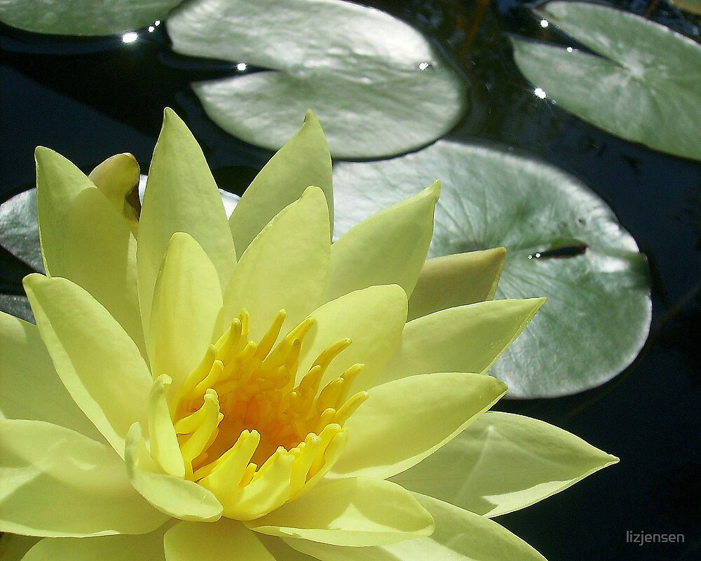water lilly by lizjensen