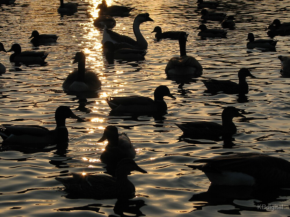 Ducks at Sunset by KBdigital