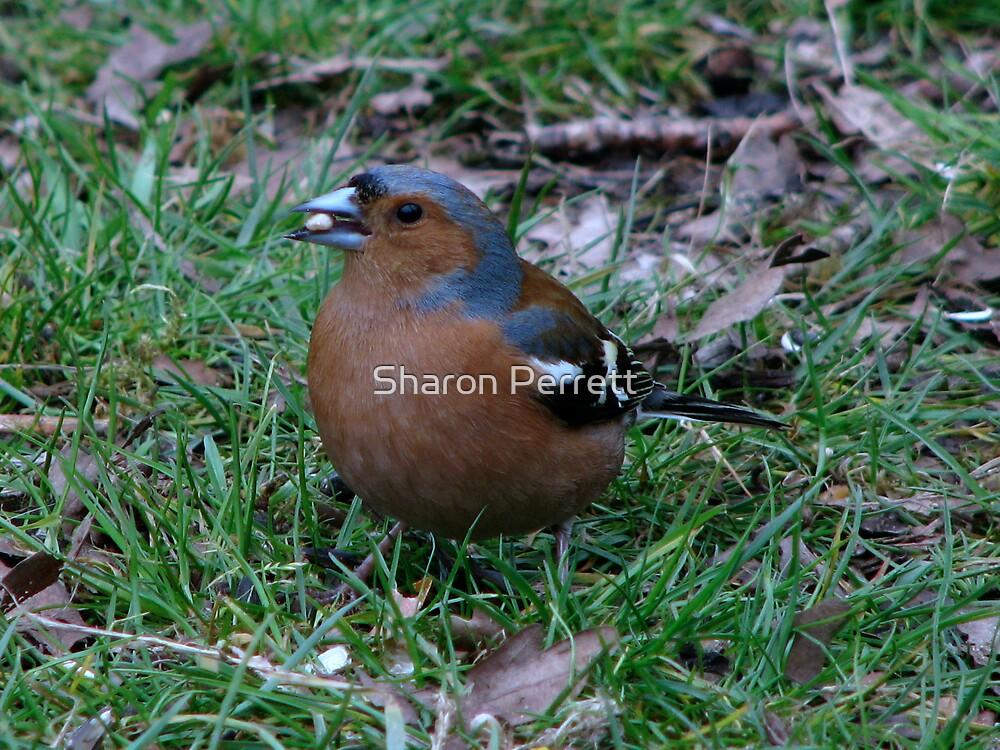 A Male Chaffinch by Sharon Perrett