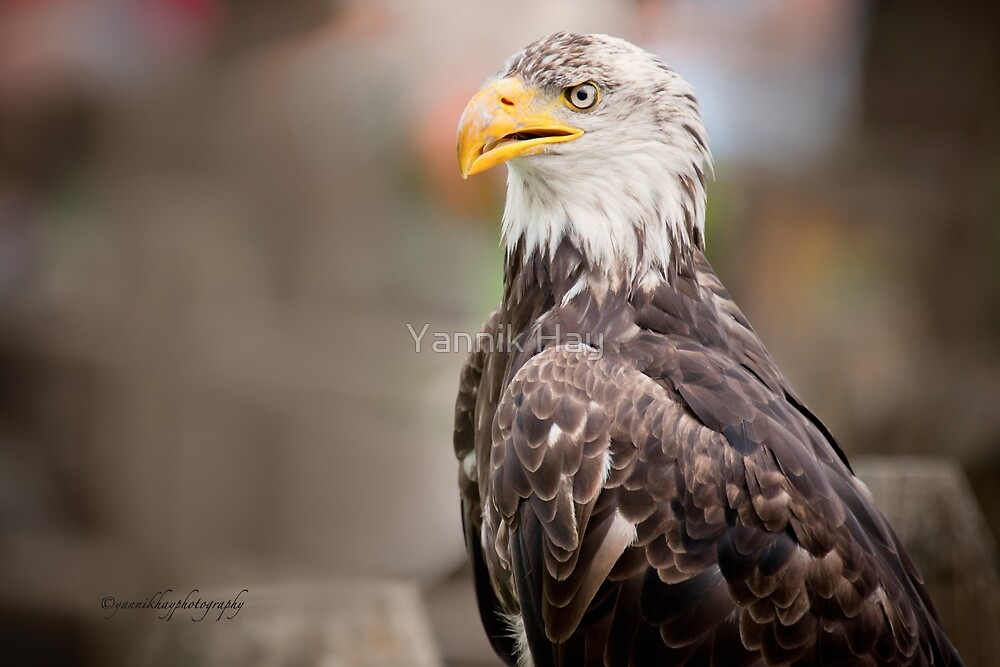 Bald Eagle - Profile by Yannik Hay