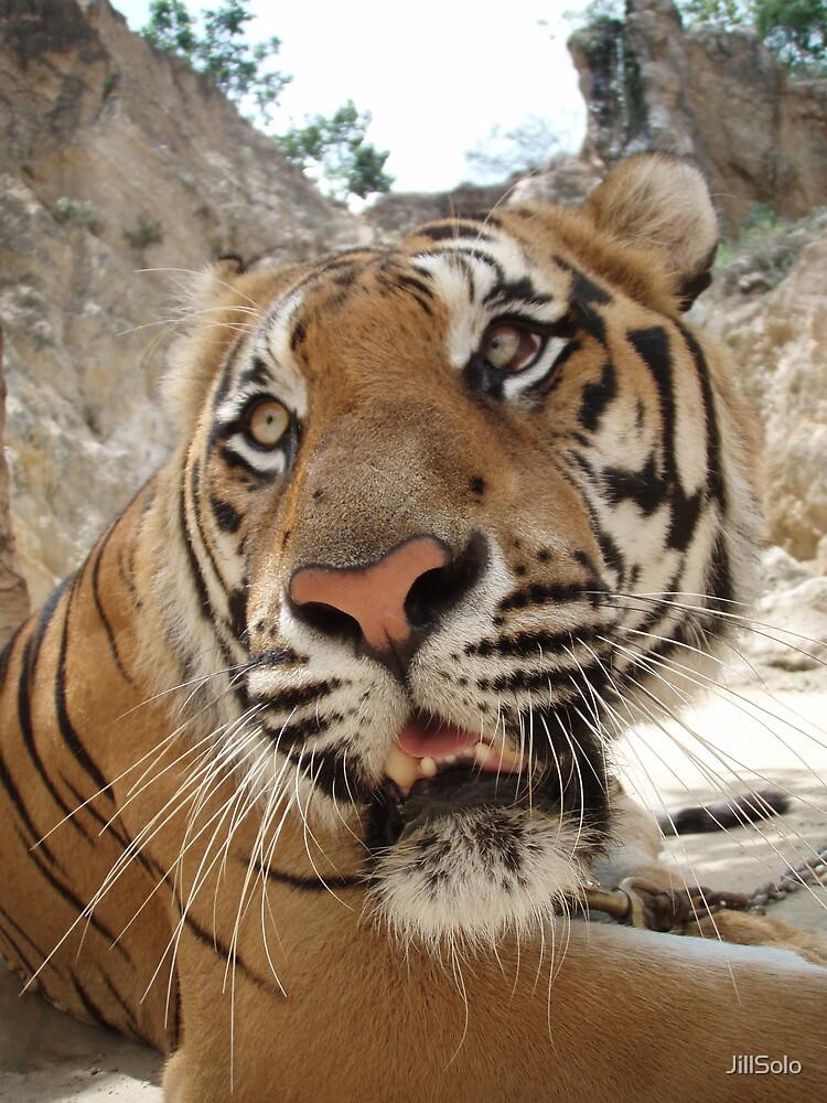 Tiger Temple Thailand - Kanchanaburi - #3 by JillSolo