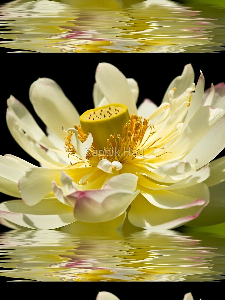 Lotus in Full Bloom by Photograph2u