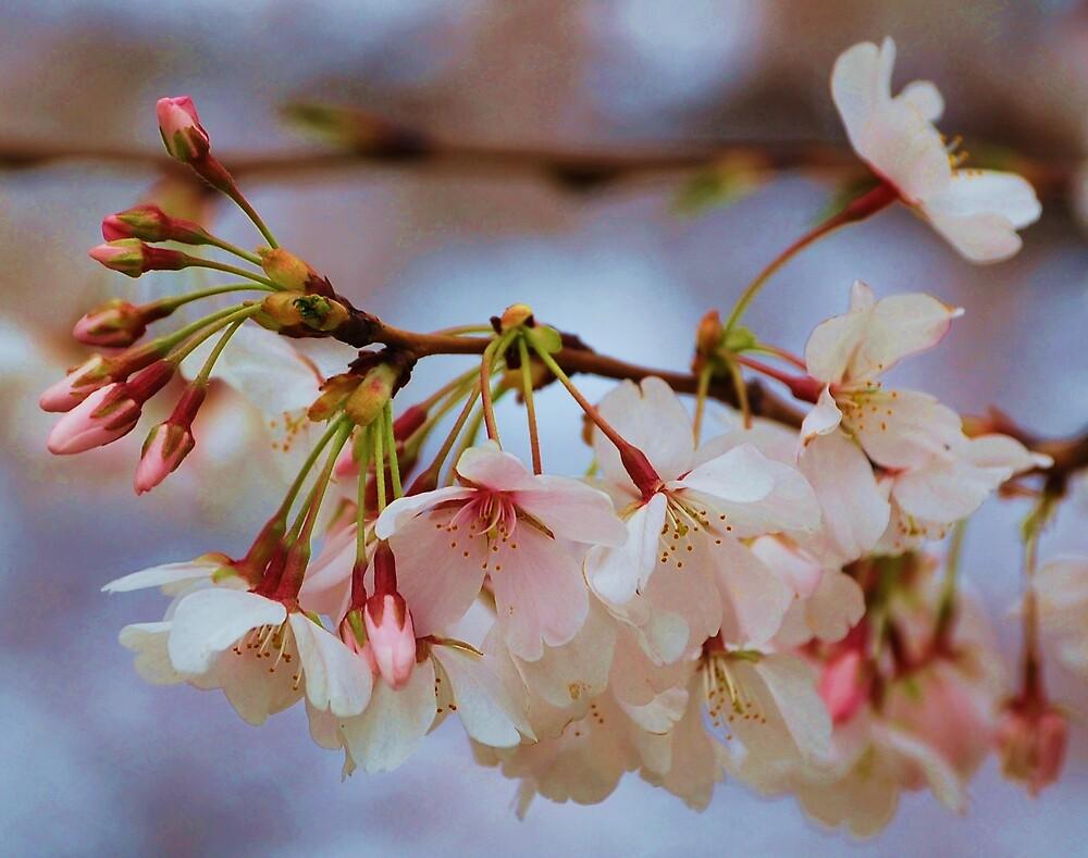 cherry blossoms close up by dbcarolinagirl