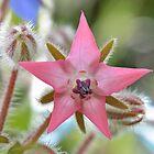 Pink Borage Flower by relayer51