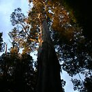 Eucalyptus Regnans, Styx Valley by Erland Howden