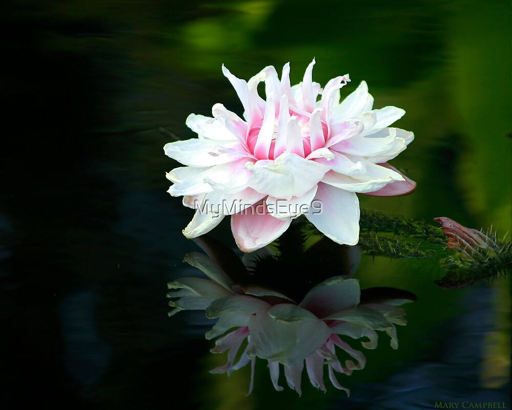Water Lilies Reflections by Mary Campbell