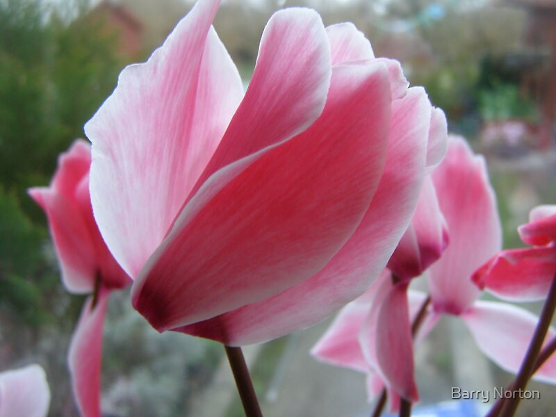 Cyclamen 1 by Barry Norton