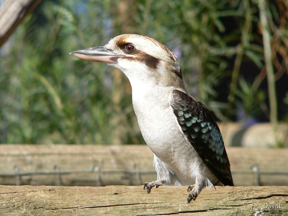 Kookaburra on Fence Rail by Davo1