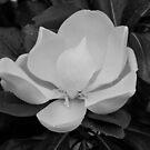 Magnolia bloom - Plate No. III by Matsumoto