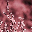Pink Whispers by cjane