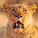 Lioness in the sun by rrutten