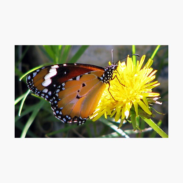 Yellow Butter Flutter Photographic Print