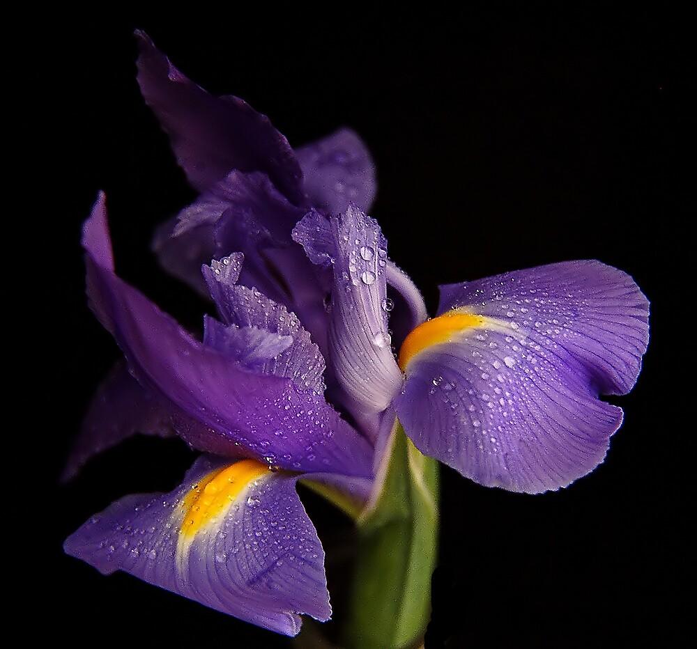 Purple Iris by terrylazar