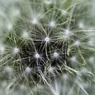 Dandelion - Macro - by Evita