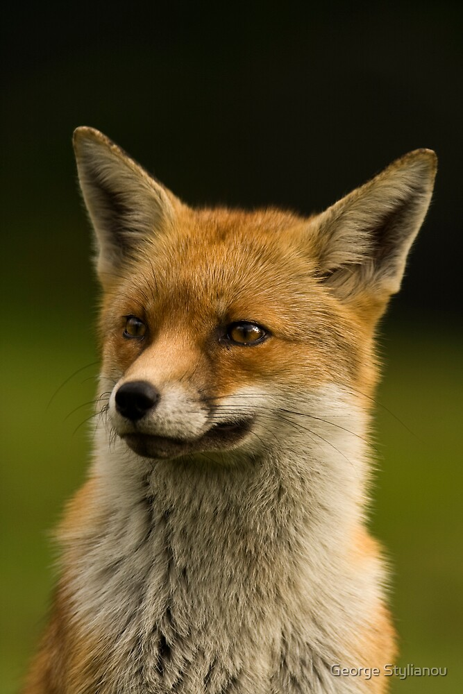 Fox portrait by George Stylianou