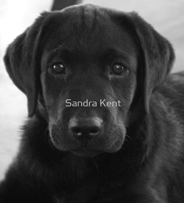 My puppy (Star) by Sandra Kent