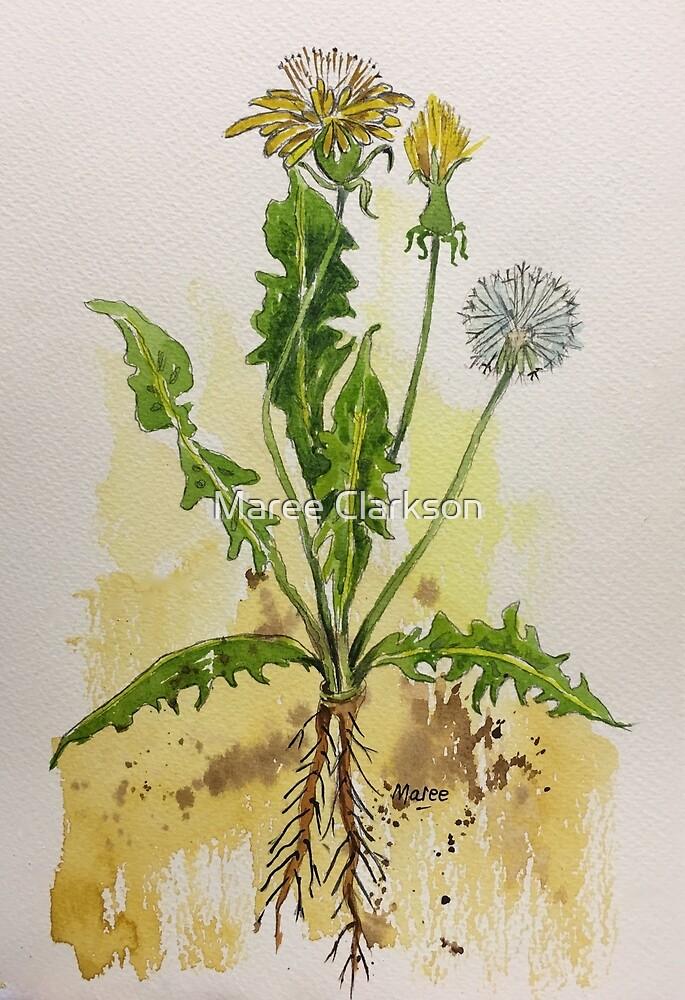 Dandelion Botanical illustration - Taraxacum officionale by Maree Clarkson