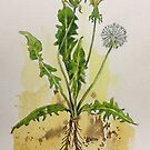 Dandelion Botanical illustration - Taraxacum officionale by Maree Clarkson