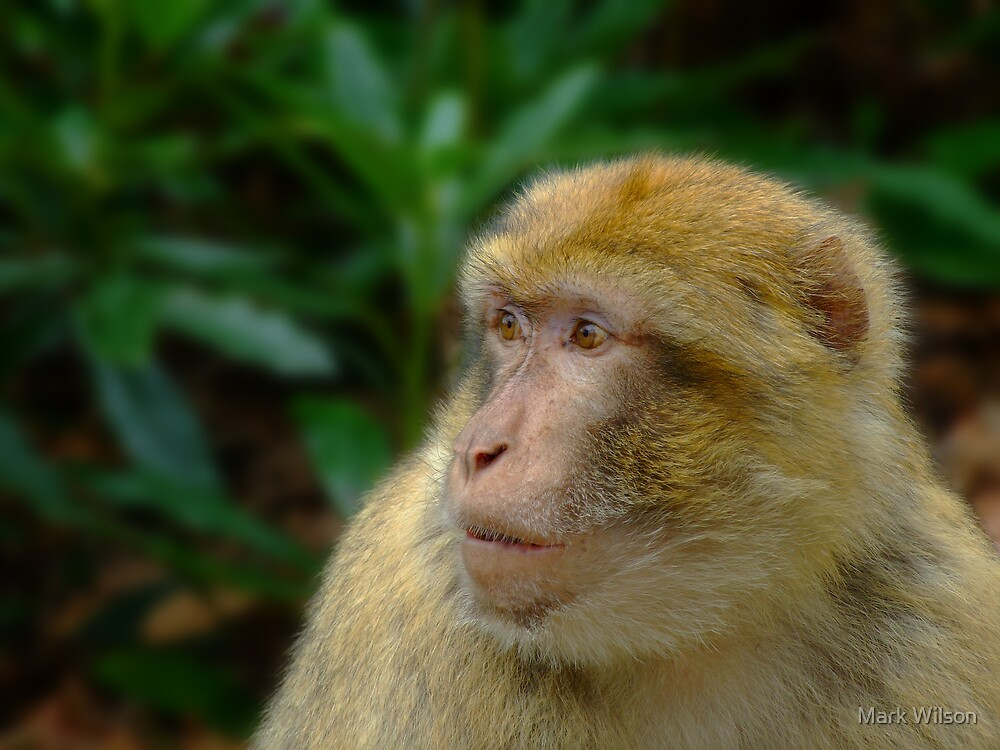 Barbary Macaque by Mark Wilson
