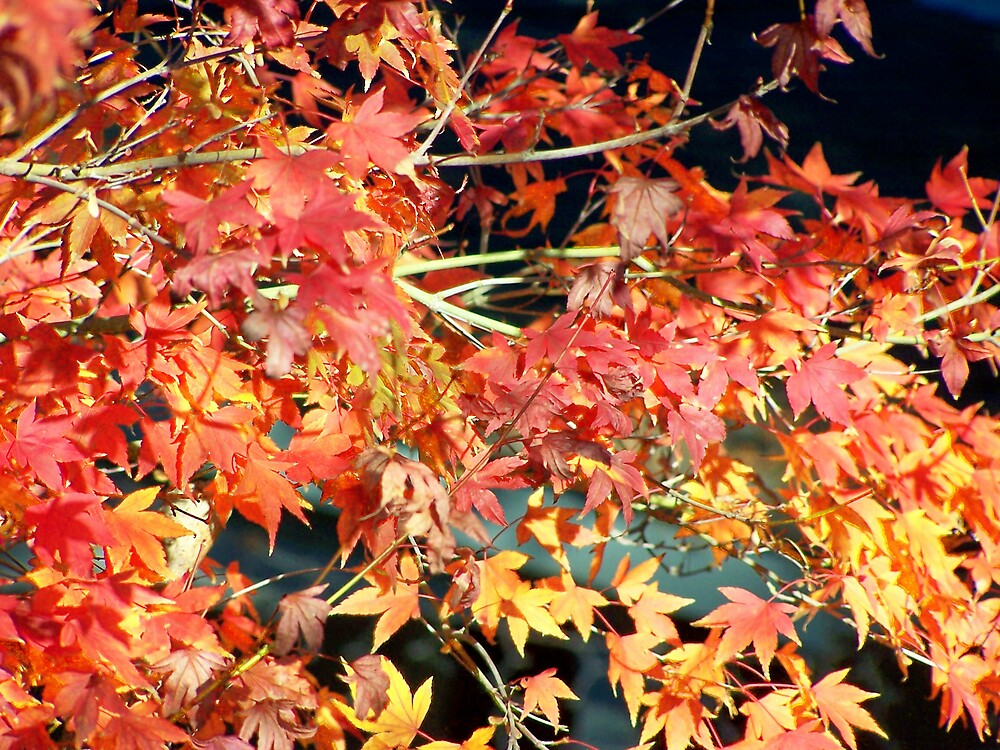 Maple Leaves in Fall by Carrie Norberg
