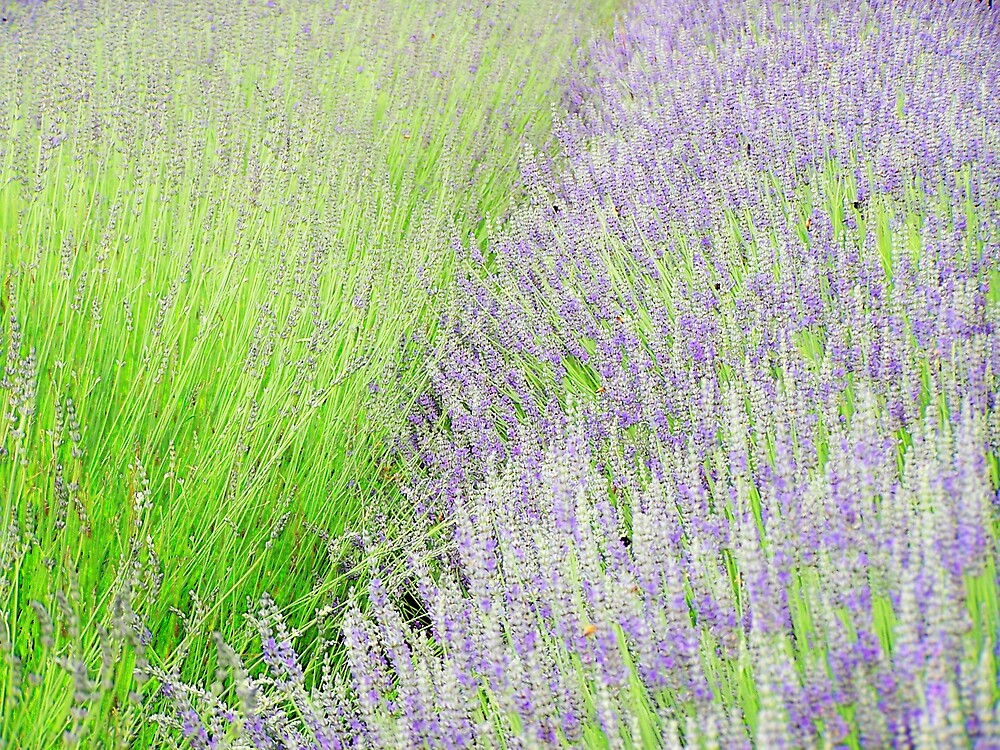 Lavender by Carrie Norberg